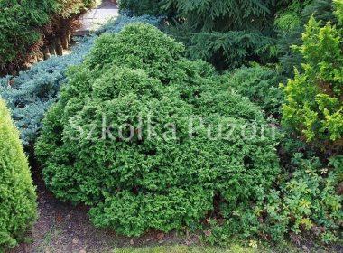 Chamaecyparis pisifera (cyprysik groszkowy) 'Nana'