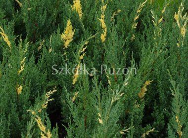 Juniperus chinensis (jałowiec chiński) 'Variegata'
