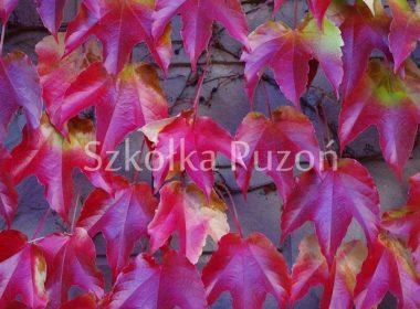 Parthenocissus tricuspidata (winobluszcz trójklapowy) 'Veitchii' (jesień)