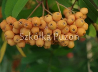 Sorbus x arnoldiana 'Golden Wonder'