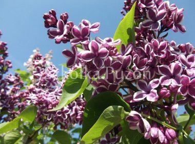 Syringa vulgaris (lilak pospolity) 'Sensation'