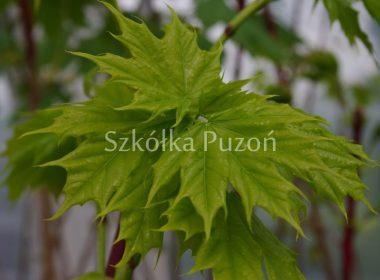 Acer platanoides (klon zwyczajny) (wiosna)
