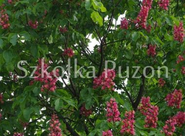 Aesculus x carnea (kasztanowiec czerwony) 'Briotii'