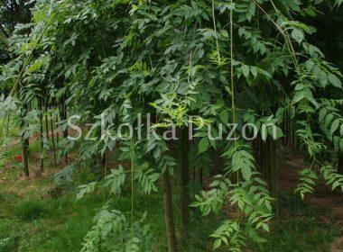 Fraxinus excelsior (jesion wyniosły) 'Pendula'