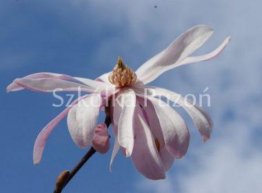 Magnolia stellata (magnolia gwiaździsta) 'Rosea'