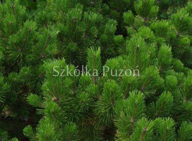 Pinus mugo (sosna górska) 'Winter Gold' (latem)