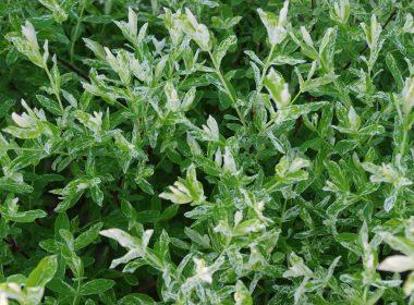Salix integra (wierzba całolistna) 'Hakuro-nishiki'