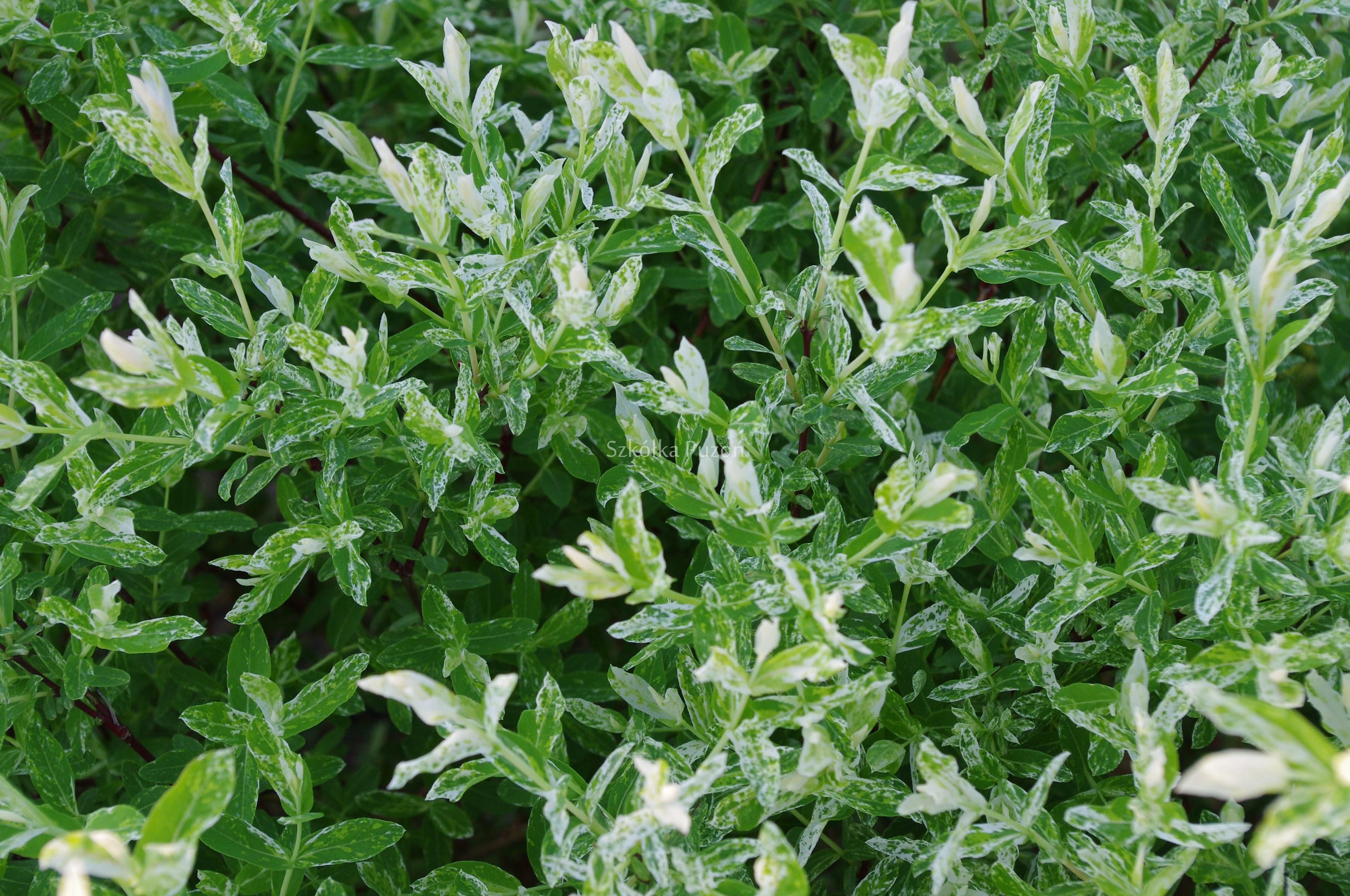 Wierzba salix r ne odmiany szk ka drzew puzon - Salix hakuro nishiki taille ...