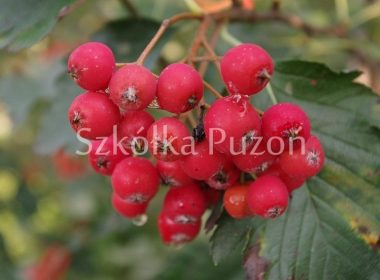 Sorbus intermedia (jarząb szwedzki)