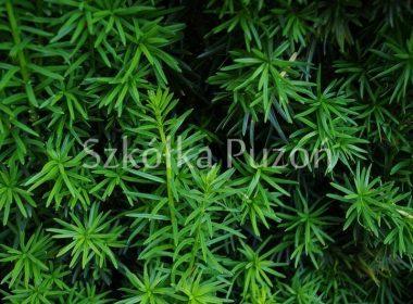 Taxus baccata (cis pospolity) 'Fastigiata'