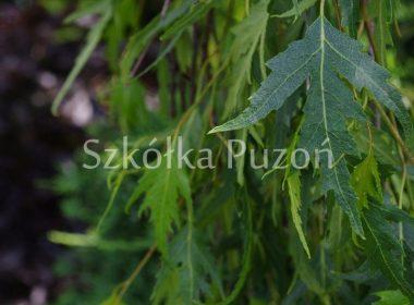 Betula pendula (brzoza brodawkowata) 'Gracilis'