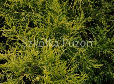 Chamaecyparis pisifera (cyprysik groszkowy) 'Filifera Aurea'
