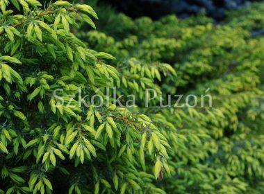 Juniperus communis (jałowiec pospolity) 'Depressa Aurea'