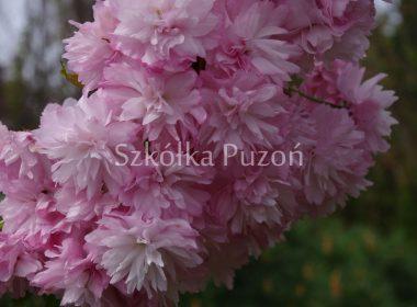 Prunus serrulata (wiśnia piłkowana) 'Kiku-shidare'