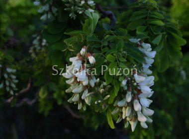 Robinia pseudoacacia (robinia akacjowa) 'Twisty Baby'