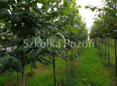 Tilia cordata xT platyphyllos (lipa szerokolistna)