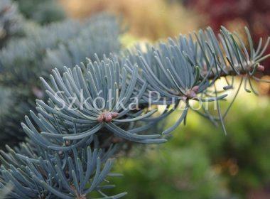 Abies concolor (jodła kalifornijska) 'Compacta'