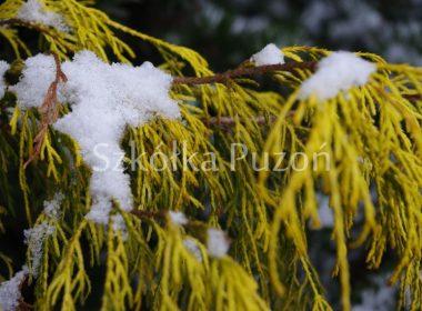 Chamaecyparis pisifera (cyprysik groszkowy) 'Filifera Aurea' (zimą)