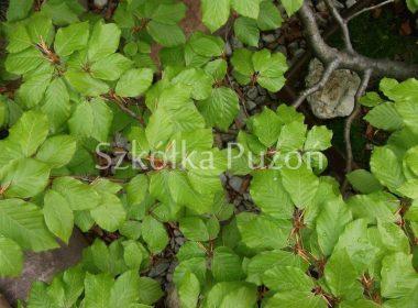 Fagus sylvatica (buk pospolity)