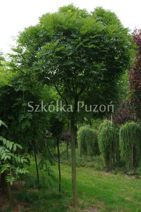 Fraxinus excelsior (jesion wyniosły) 'Globosa'