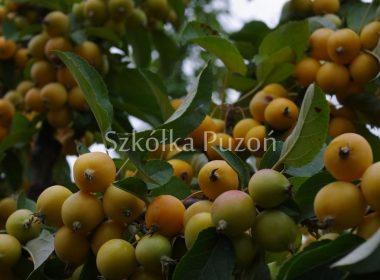 Malus (jabłoń) 'Golden Hornet'