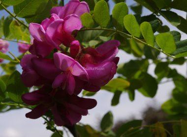 Robinia hispida (robinia szczeciniasta) 'Macrophylla'