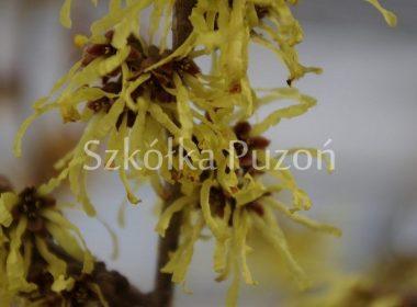 Hamamelis x intermedia (oczar pośredni) 'Pallida' (wiosna)