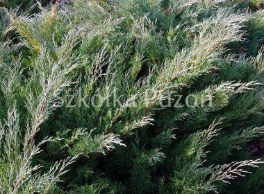 Juniperus x pfitzeriana (jałowiec Pfitzera) 'Pfitzeriana Glauca'