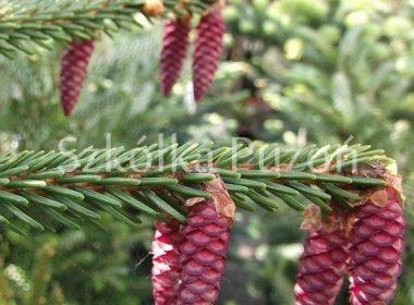 Picea orientalis (świerk kaukaski) 'Aurea Nana'
