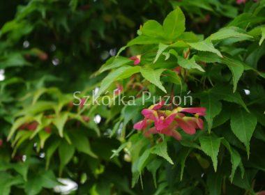 Acer palmatum (klon palmowy) 'Osakazuki'