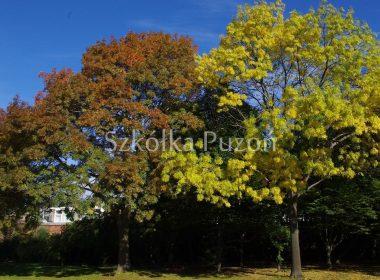 Fraxinus excelsior (jesion wyniosły) (jesień)