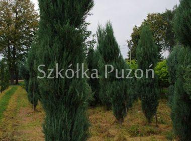 Juniperus scopulorum (jałowiec skalny) 'Skyrocket'