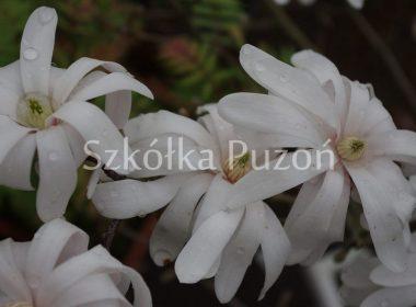 Magnolia stellata (magnolia gwiaździsta) 'Royal Star'