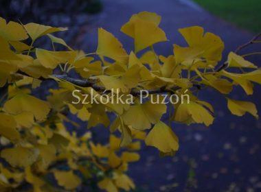 Ginkgo biloba (miłorząb dwuklapowy) (jesień)