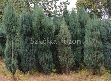 Juniperus - Jałowiec