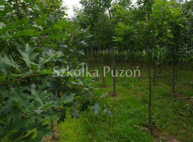 Quercus rubra (dąb czerwony)