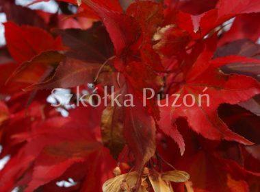 Acer palmatum (klon palmowy) 'Osakazuki' (jesień)