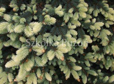 Picea pungens (świerk kłujący) 'Białobok'