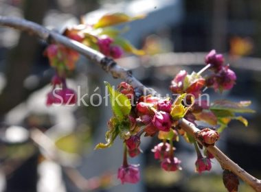 Prunus serrulata (wiśnia piłkowana) 'Kiku-shidare' (wiosna)