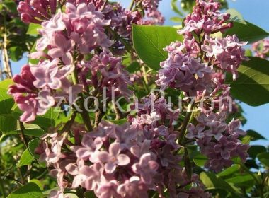 Syringa vulgaris (lilak pospolity) 'Michel Buchner'