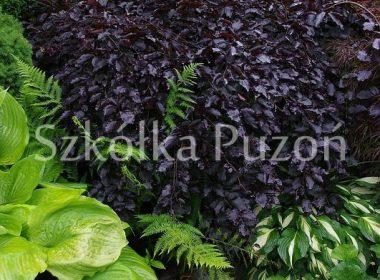 Fagus sylvatica (buk pospolity) 'Purpurea Pendula'