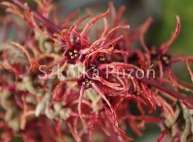 Hamamelis x intermedia (oczar pośredni) 'Ruby Glow' (wiosna)