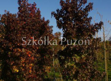Liquidambar styraciflua (ambrowiec amerykański) (jesień)