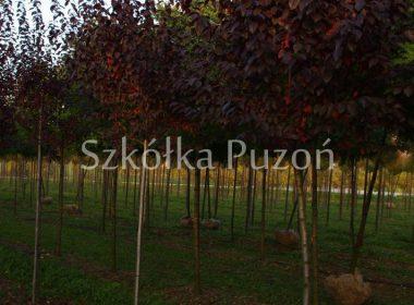 Prunus (śliwa) 'Pissardii'