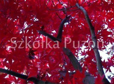 Acer palmatum (klon palmowy) 'Atropurpureum'