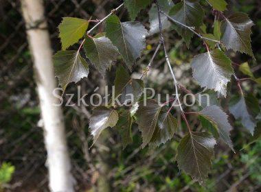 Betula pendula (brzoza brodawkowata) 'Purpurea'