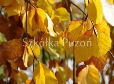 Fagus sylvatica (buk pospolity) 'Pendula' (jesień)