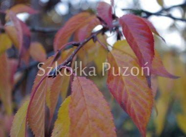 Prunus serrulata (wiśnia piłkowana) 'Kiku-shidare' (jesień)