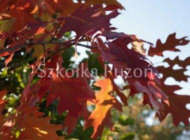 Quercus rubra (dąb czerwony) (jesień)