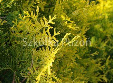 Thuja occidentalis (żywotnik zachodni) 'Sunkist'
